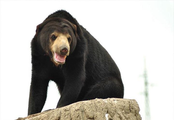 【北京八达岭野生动物世界】黑熊