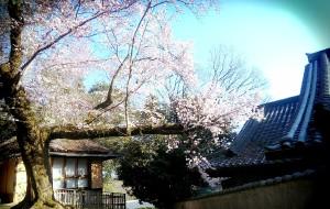 【京都图片】桜満開の四月