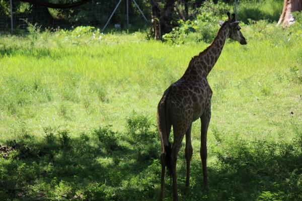 观赏到了长颈鹿,斑马,犀牛,狮子,羚羊,鸵鸟,豹子,猎狗等野生动物,特别
