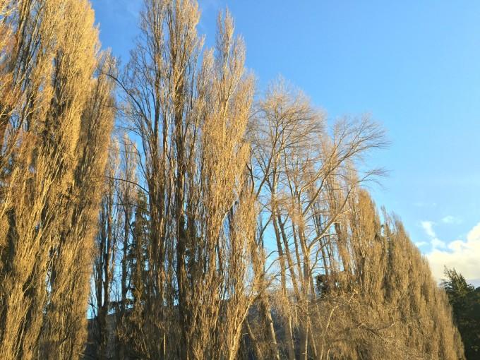树 桦林 桦树 680_510