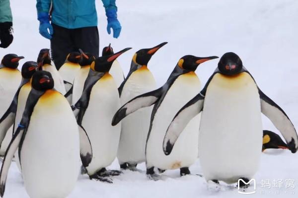 旭川动物园的招牌,企鹅散步