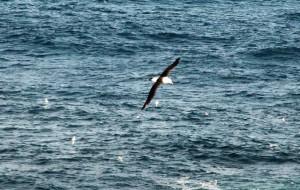 【南极洲图片】走近南极——信天翁(274)