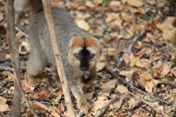 找到狐猴的天敌马岛獴(FOSSA).因为时间关系,我们没法继续深