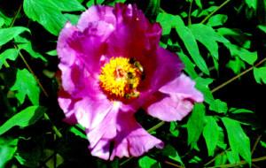 【盐城图片】这里的牡丹真鲜艳——黄尖牡丹园掠影