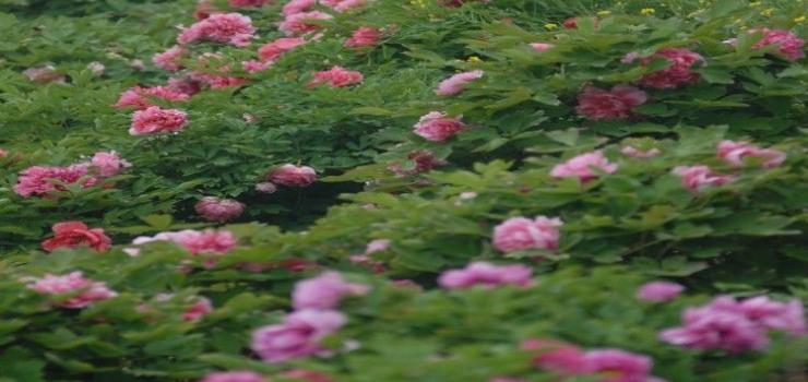 盛世牡丹苑生态文化旅游区