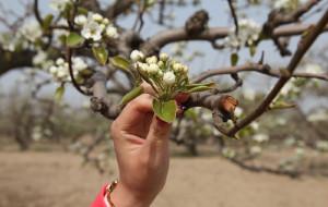 【大兴图片】4月17号万亩梨花园随手拍。
