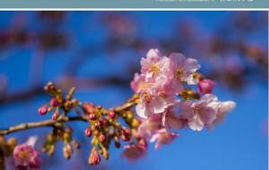 【伊豆市图片】2014日本本土赏樱花-----伊豆樱花之旅