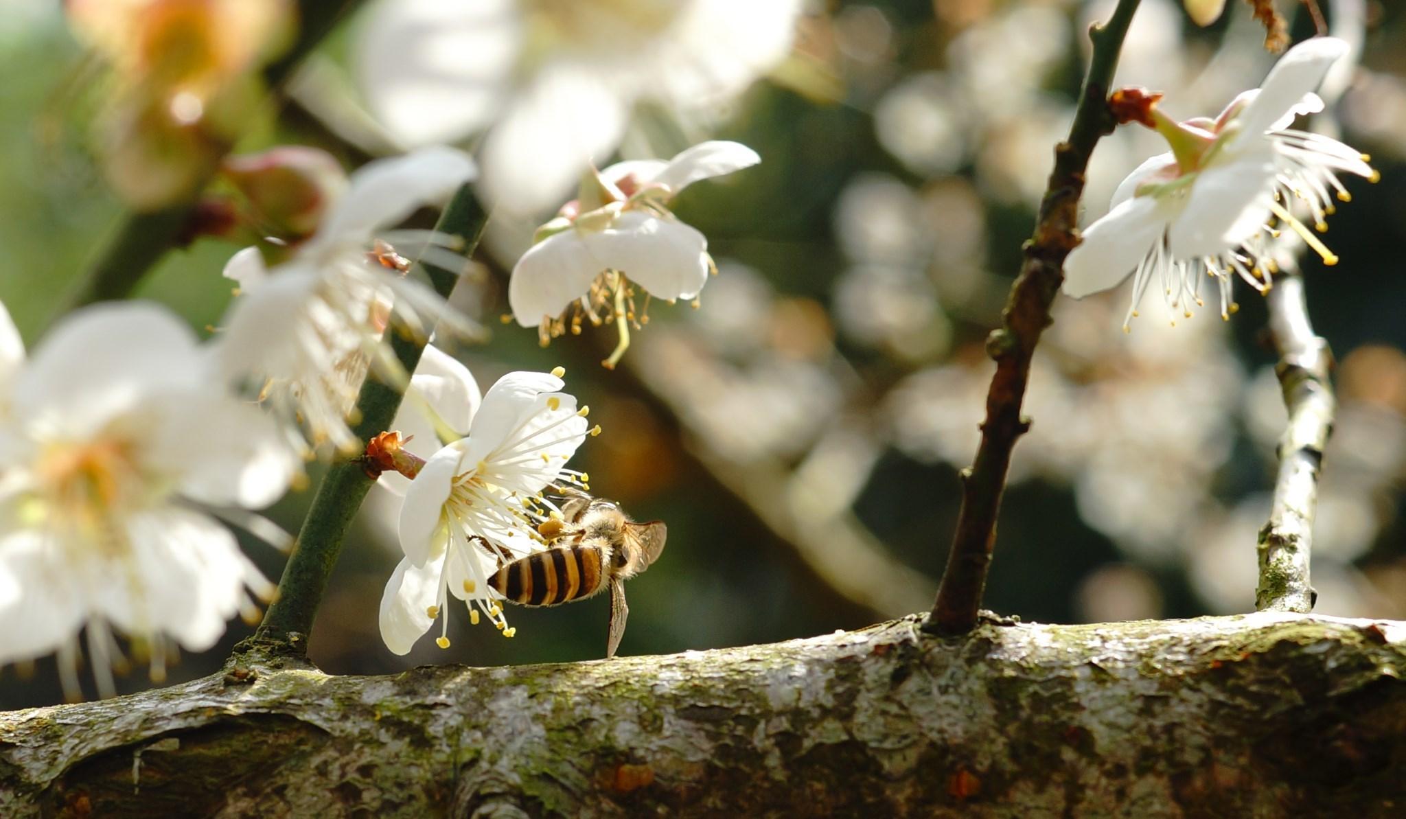 寻找着春天的脚步,大自然拨动季节的时钟,冬春之初,梅花点燃春天的