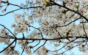 【多伦多图片】花季之樱花---2015