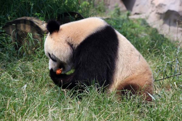 木雕熊猫竹子图片