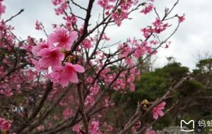 【那霸图片】二月,行走冲绳;寒绯樱,初绽放。。。