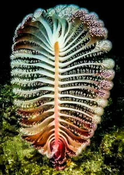 海底腔肠动物------海鳃,与上图像吧?