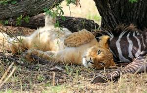 【乞力马扎罗图片】万物有灵且美——游猎坦桑尼亚