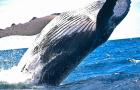 冬季限定 冲绳出海赏鲸体验半日游·12/23-4/8(那霸发船)