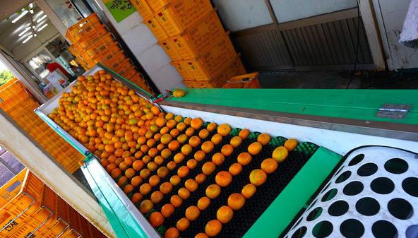 到济州岛跑个柑橘马拉松