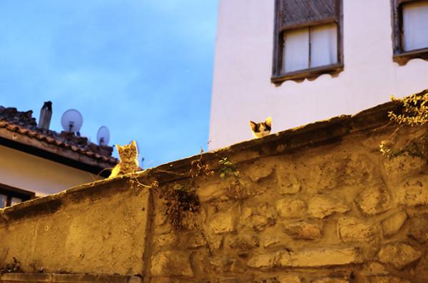 巴库的流浪猫